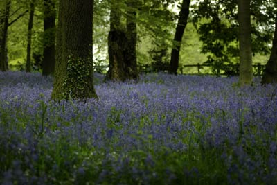Bluebells at Renishaw Hall in Derbyshire