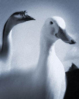Ducks digitally manipulated to create pinhole camera effect