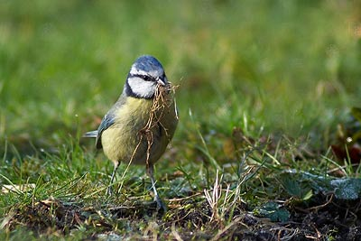 Blue tit collecting nesting material