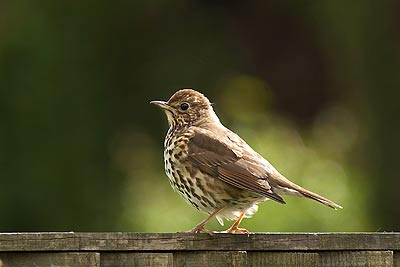 Song thrush on garden fence