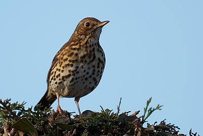 Song thrush on hedge