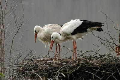 White Stork (Ciconia ciconia) preparing a nest in the grounds of Harwood House