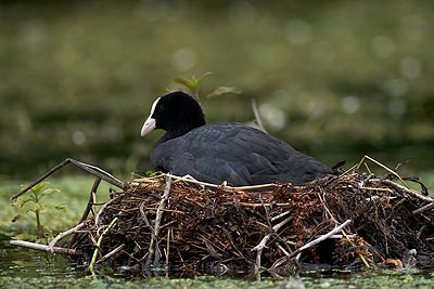 Coot on nest on river Lathkill, Lathkill Dale