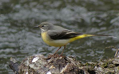 Wagtail on the river at Lathkill Dale