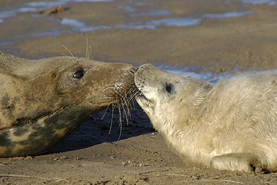 Kissing seals, Donna Nook