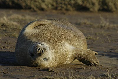 Seal at Donna Nook