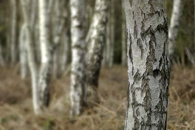 Silver Birch stumps