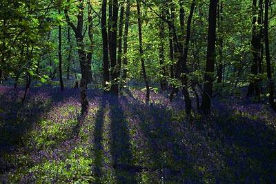 Backlit trees in bluebell wood