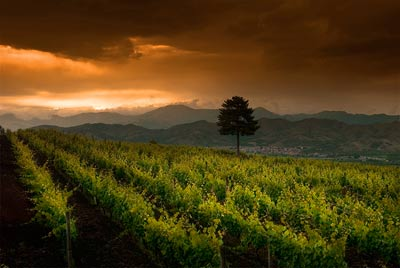 Lone tree in vineyard, Sicily